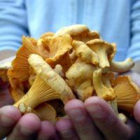 В лесах Красноярска вырос большой урожай грибов-лисичек