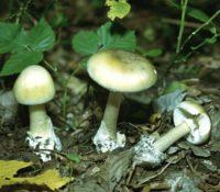 Самый страшный гриб (бледная поганка)
