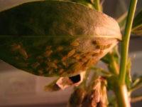 Грибы предупреждают растения о нашествии вредителей