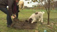 В Финляндии впервые собрали урожай трюфелей