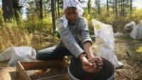 Томские власти примут закон, запрещающий собирать недозрелые дикоросы
