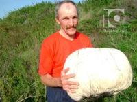 В Кемеровской области появились грибы-мутанты размером с тыкву