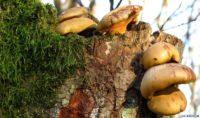 В Калининградской области в календарную зиму продолжают расти съедобные грибы