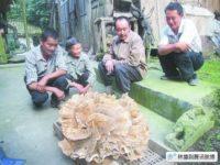 Огромный гриб нашел китайский крестьянин