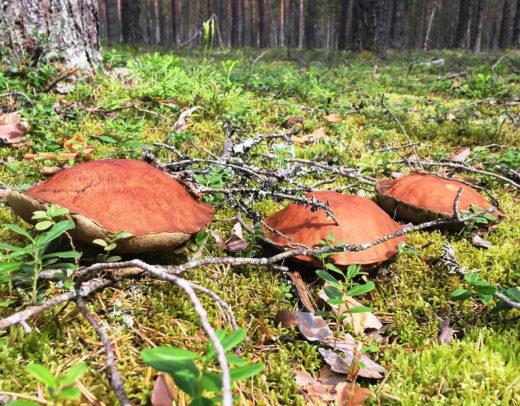 Леса Ленобласти в минувшие выходные порадовали ранними грибами: пошли лисички, а кое-где и подосиновики