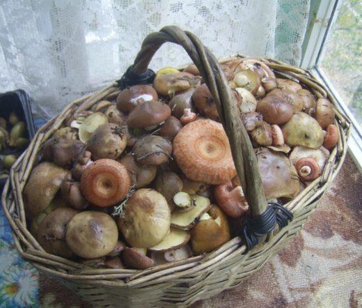Собрать корзинку грибов Сергей может за 1,5–2 часа в лесу.Фото: Сергей Баранов