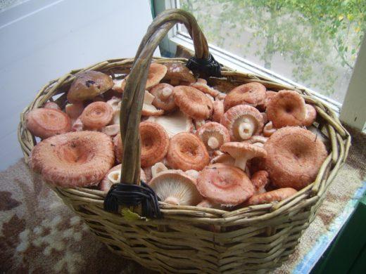 Корзина волнушек. В некоторых странах их не считают съедобными, а на Севере России, — едят. Главное, не перепутать этот гриб с ложной волнушкой. Настоящая — немного пушистая.Фото: Сергей Баранов