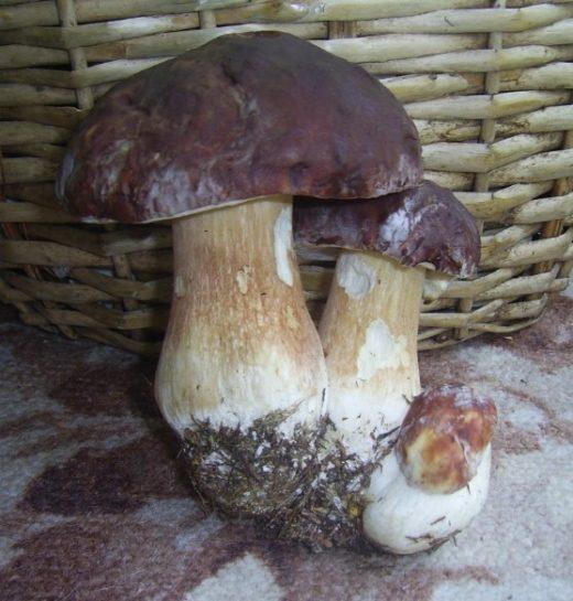 Белые грибы обычно прячутся, но если отыскал один, то жди, что наткнешься рядом еще на несколько.Фото: Сергей Баранов