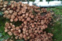 Чудесно: в лесах Хакасии пошли опята