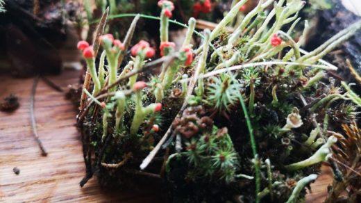 В лесах Подмосковья «расцвел» бенгальский спичечный лишайник