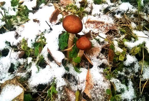 Несмотря на скорое приближение зимы в лесах еще можно найти съедобные грибы. Одна из причин этого – довольно теплая для этого сезона погода