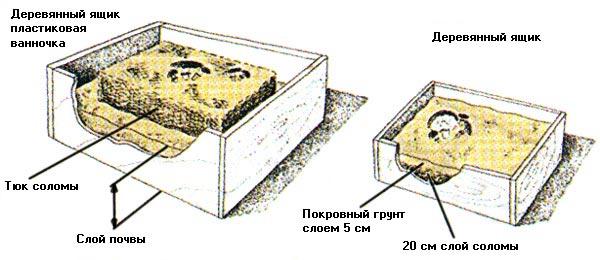 Выращивание кольцевика дома в ящиках