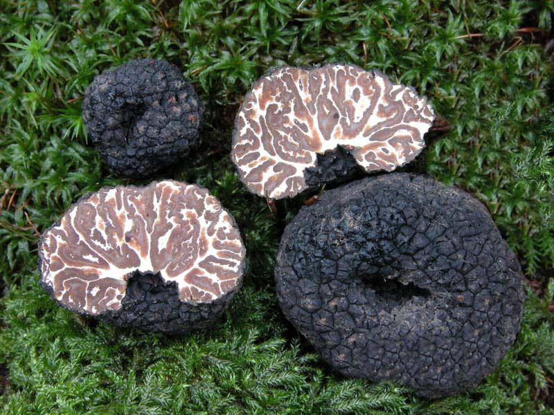 Tuber mesentericum Trufa de pino o trufa borde Мезентериальный или брызжейковидный трюфель