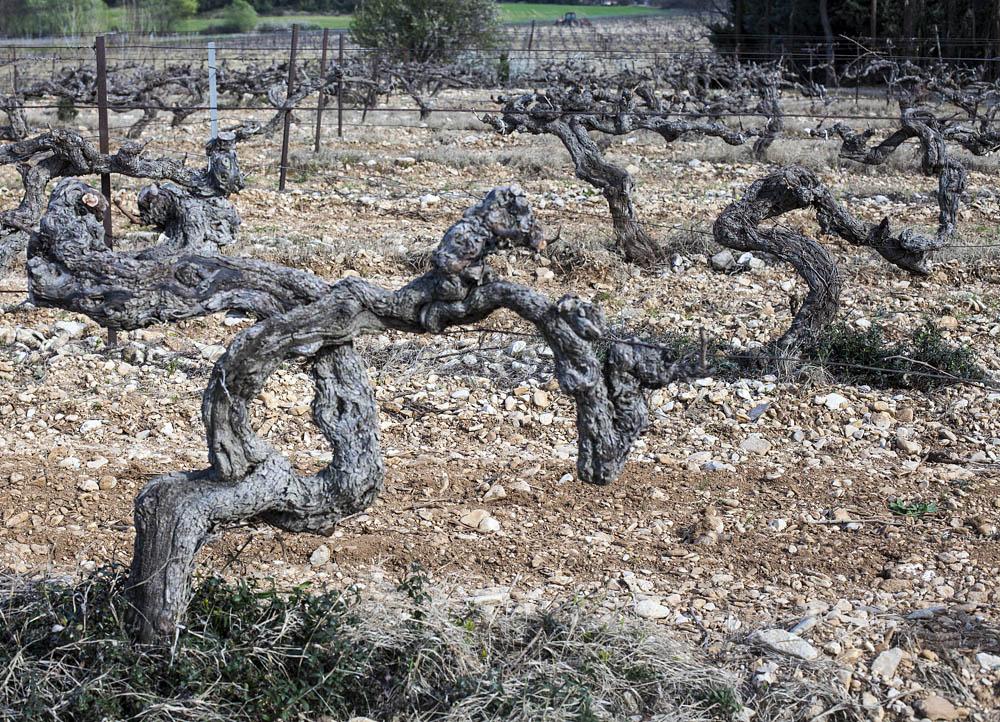 Вот такие старые виноградники  в хозяйстве Grangeneuve, чуть отъедешь от Ришранша