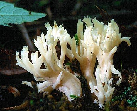 Гриб-рога: Клавулина гребенчатая (лат. Clavulina cristata)