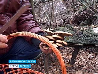 Жители россошанского села Морозовка ходят по грибы зимой