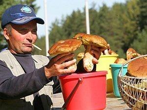 В Ярославской области отмечается небывалый урожай белых грибов.