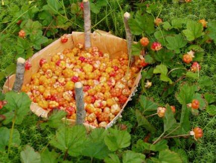 В Белоярском районе - большой урожай морошки