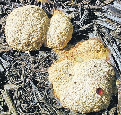 Плазмодий - самый подвижный гриб