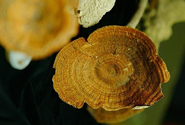 Африканский гриб Tiger Milk mushroom