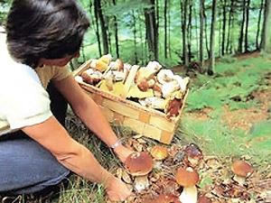 Срезание белого гриба