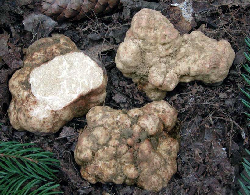 Choiromycesmeandriformis Choiromycesvenosus Трюфель троицкий или Белый польский