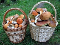 Дары леса собирают в южных районах республики и в Сыктывкаре. В основном, в лесах Коми вышли красноголовики, подберезовики и боровики.