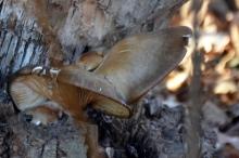 В Стрыю посреди зимы выросли грибы