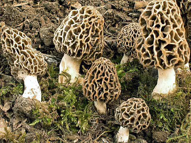 Сморчок обыкновенный, съедобный (Morchella esculenta) – мало похож на привычный портрет гриба с прямой ножкой и аккуратной шляпкой-беретом