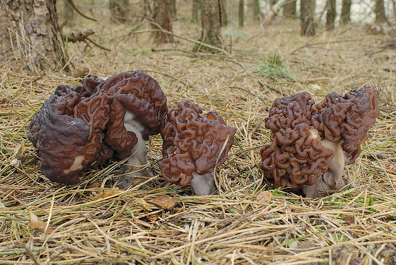 Строчок обыкновенный (Gyromitra esculenta) – его шляпка выглядит бесформенной, шишковатой, вся в крупных извилинах, будто чалмой укутана массивная, короткая ножка