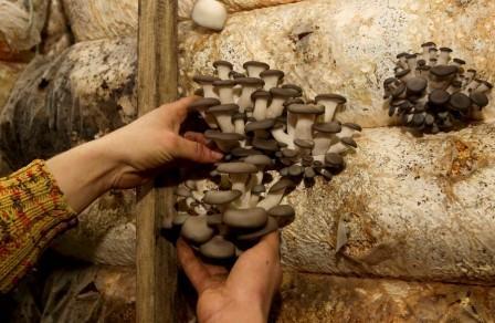В Белоруссии грибы-вешенки выращивают на территории секретной военной базы