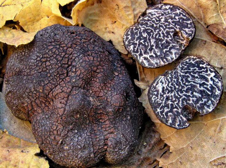Tuber macrosporum Trufa negra Гладкий черный трюфель