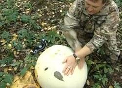 Дождевик-великан весит почти 12 килограммов