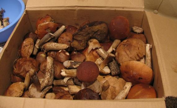 20 ведер грибов! Вот такой «урожай»