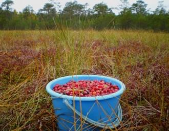 В ближайшее время в Беларуси официально будет разрешен сбор брусники и клюквы в лесах