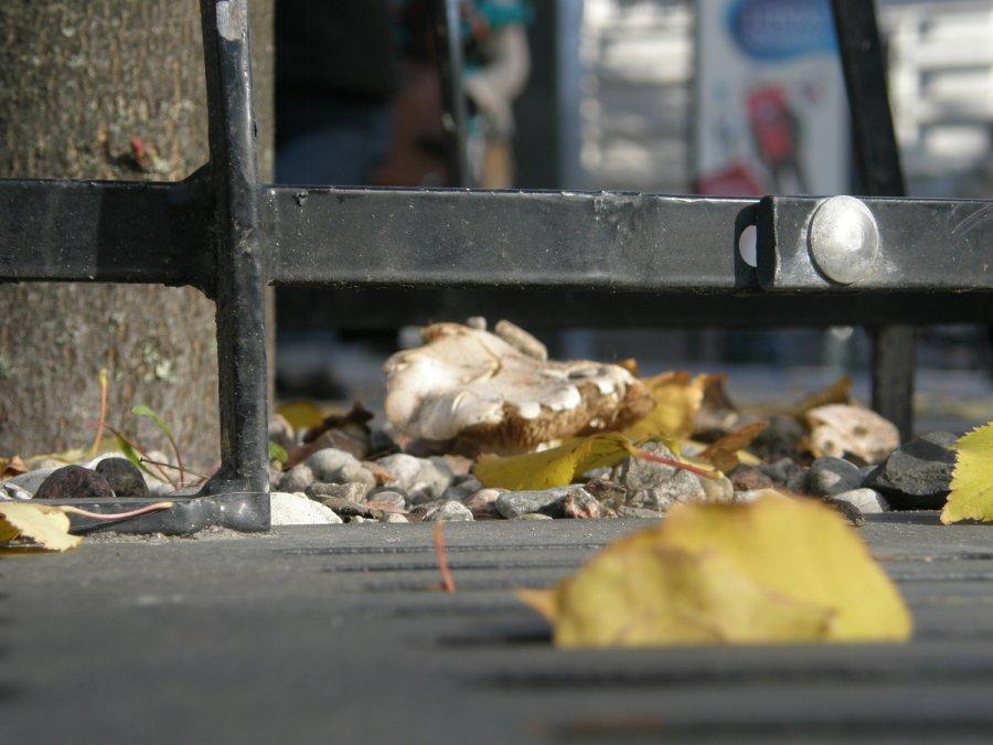 На проспекте Гедиминаса в Вильнюсе выросли грибы