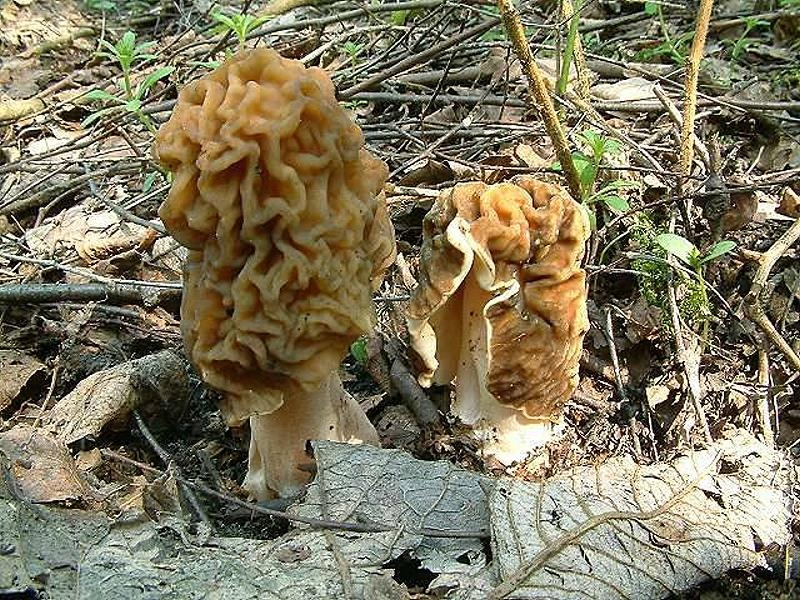 Сморчковая шапочка (Verpa bohemica) вообще на собратьев не похожа, сморчок, да не тот, особенный, щеголеватый