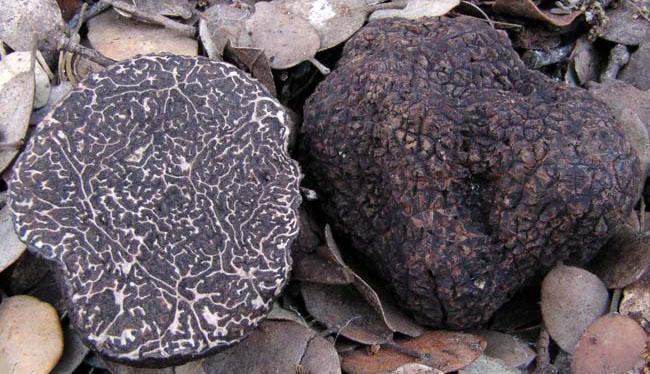 Tuber melansporum Trufa negra o trufa de Perigord Трюфель черный или Перигорский