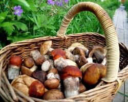 Правила сбора ягод и грибов в лесах Сибири разработают в 2015 году