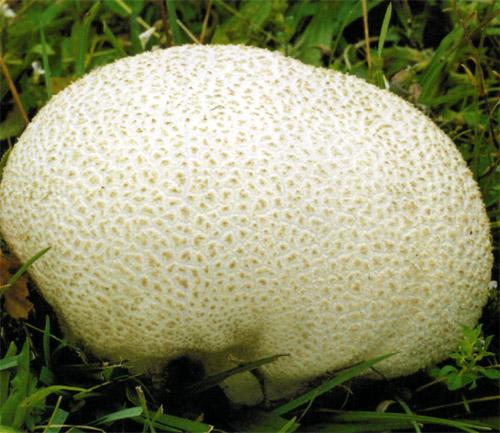 Головач круглый (Calvatia caelata Morg. (Syn. Lycoperdon caelatum auc.) )