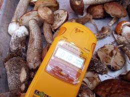 Многие грибы небезосновательно считаются аккумуляторами радионуклидов