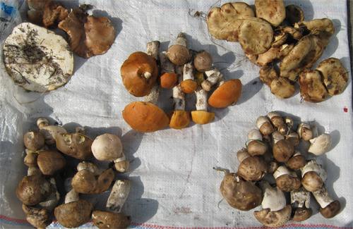 Цена «грибной рулетки» в Полтаве — 15 гривен за кучку