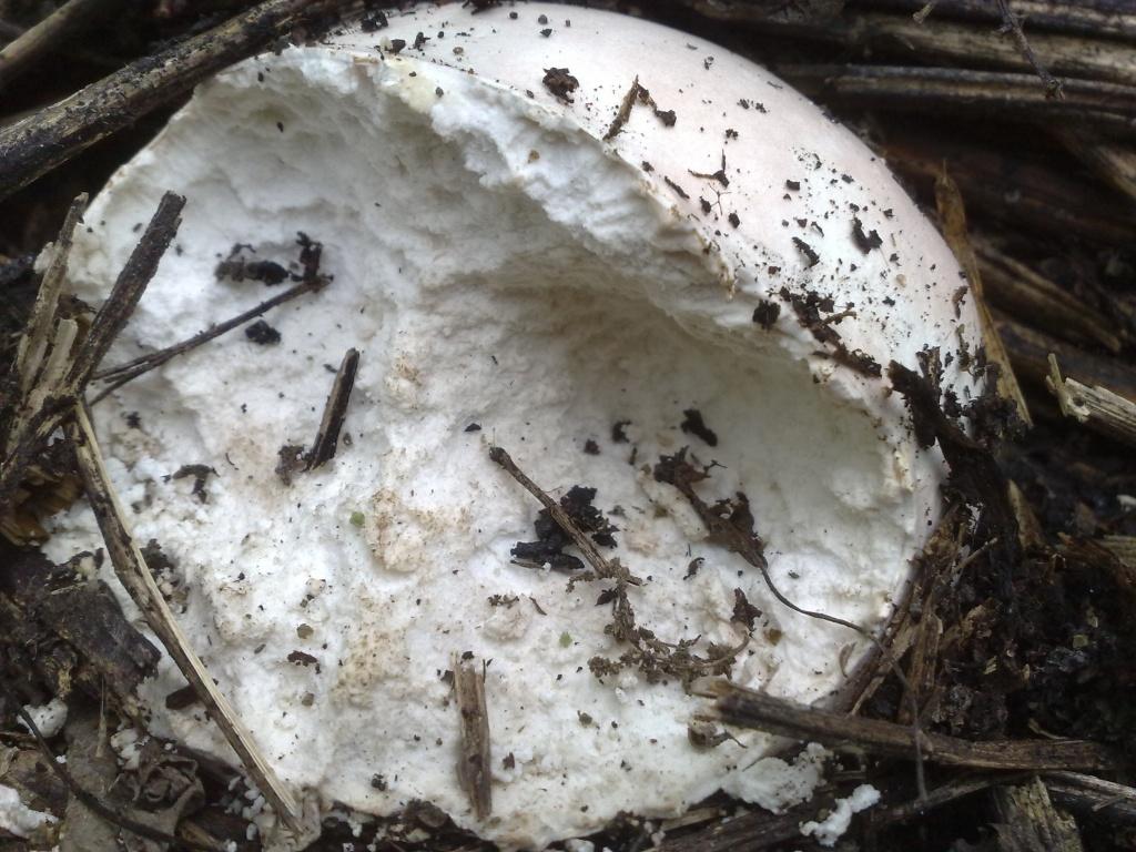 Лангермания выросла на том же месте в августе, исследователи насчитали 24 особи, растущие по окружности. Грибы были сильно поедены насекомыми и грызунами.